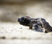 Baby Turtle in San Jose del Cabo