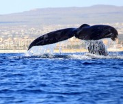 Whales in Magdalena Bay